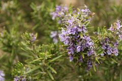 Rosmarinus Officinalis plant. In the garden in spring Royalty Free Stock Image