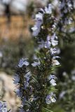 Rosmarinus Officinalis plant. In the garden in spring Stock Photos