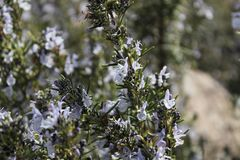 Rosmarinus Officinalis plant. In the garden in spring Royalty Free Stock Photo