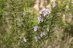 Rosmarinus Officinalis plant. In the garden in spring Stock Images