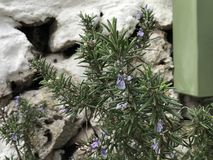 Rosmarinus officinalis, popularly known as rosemary in Spain and Latin America, is a species of the genus Rosmarinus belonging to. The Balearic Islands at Spain royalty free stock photos