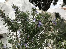 Rosmarinus officinalis, popularly known as rosemary in Spain and Latin America, is a species of the genus Rosmarinus belonging to. The Balearic Islands at Spain stock image