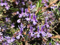Rosmarinus officinalis - Rosemary on blooming in springtime Stock Photo
