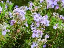 Rosmarinus officinalis, Rosemary flowers. Beautiful flowers on the Aeolian islands, Sicily, Italy.  Stock Photo