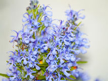 Rosmarinus officinalis - Rosemary plant on blooming Stock Images
