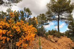 Rosmarinus Officinalis, yellow retama sphaerocarpa and pines in the mountain. Yellow retama sphaerocarpa, wild rosmarinus officinalis and pines in the mountain Stock Photos