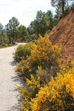Rosmarinus Officinalis, yellow retama sphaerocarpa and pines in the mountain. Yellow retama sphaerocarpa, wild rosmarinus officinalis and pines in the mountain Royalty Free Stock Photo