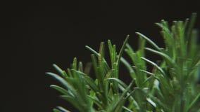 Rosmarinus som roterar på en svart bakgrund stock video