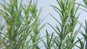 Rosmarinus som roterar på en vit bakgrund stock video