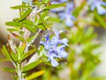 Rosmarinusofficinalis - rosmarinväxt på att blomma Arkivfoto