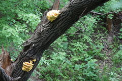 Rosnąć na drzewnego bagażnika pieczarkach Obraz Stock