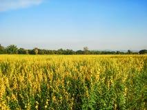 Rosnąć Sunn konopie w polu Obraz Royalty Free