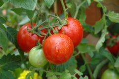 rosnąca pomidorów Fotografia Royalty Free