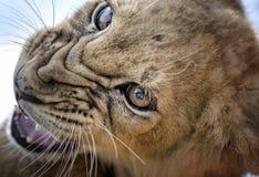 Rosnado - Lion Cub Imagem de Stock