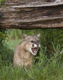 Rosnando o leão de montanha Foto de Stock