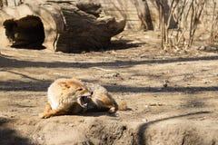 Rosnando a raposa Foto de Stock