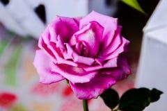 Rosor är ofta blommande i vintern royaltyfria foton