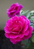 Rosor Royaltyfri Fotografi