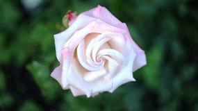 Rosor av olika färger och variationer som växer i blomsterrabatten av staden, parkerar Dessa blommor fylls med gudomlig doft Arkivbilder