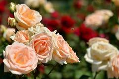 Rosor blommor på krumbesommar royaltyfria bilder