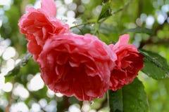 Rosor efter regnet royaltyfria foton