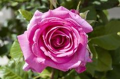 Rosor förälskelsesymbolrosor, rosa rosor för vändag, naturliga rosor i trädgården Royaltyfri Fotografi