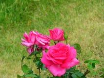 Rosor från Holland Royaltyfri Bild