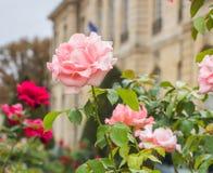 Rosor framme av Rodin Museum Royaltyfria Bilder