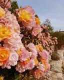 Rosor i arbeta i trädgården framdelen royaltyfri foto