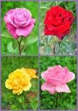 Rosor i blomcollage Royaltyfri Fotografi