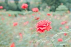 Rosor i en trädgård Royaltyfri Fotografi