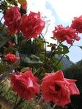 Rosor i ljusröd färg fotografering för bildbyråer