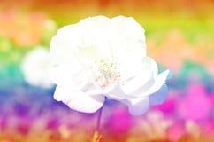 Rosor i mjuk suddighetsbokeh för bakgrund Fotografering för Bildbyråer