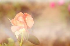 Rosor i mjuk suddighetsbokeh för bakgrund Arkivfoto