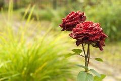 Rosor i regnet i trädgården Royaltyfri Fotografi