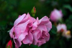Rosor i trädgård på mulen dag med regndroppar Fotografering för Bildbyråer