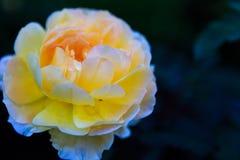 Rosor i trädgård på mulen dag med regndroppar Royaltyfri Foto