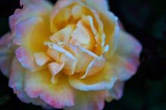 Rosor i trädgård på mulen dag med regndroppar Royaltyfria Bilder