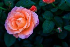 Rosor i trädgård på mulen dag med regndroppar Royaltyfri Bild