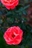 Rosor i trädgård på mulen dag med regndroppar Arkivfoton