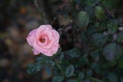 Rosor i trädgården på höst Arkivfoto
