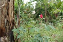 Rosor i trädgården, version 2 Royaltyfri Fotografi