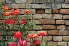 Rosor med bakgrund för tegelstenvägg Royaltyfri Foto