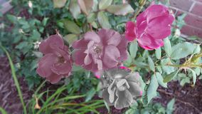 Rosor med effekter för några bilder Arkivfoto