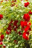 Rosor på buskar Arkivbild