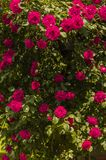 Rosor på buskar Royaltyfria Foton