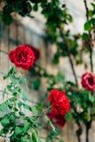 Rosor på gatan Rosa och röda rosor växer på gatorna av M Royaltyfria Foton
