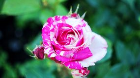 Rosor på stadsblomsterrabatten Royaltyfria Foton