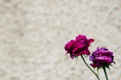 Rosor på väggen Royaltyfria Bilder