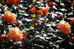Rosor som är orange i trädgården royaltyfria bilder